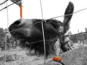 El burro y la Zanahoria